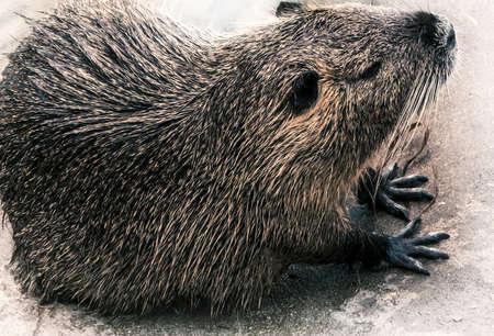 herbivores: beaver Stock Photo