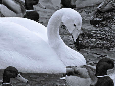 wintering: swan among ducks Stock Photo
