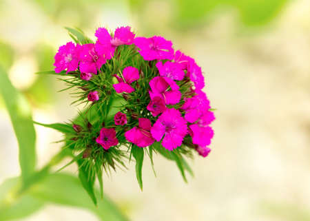 pinks: the Carnation (Pinks), macro Stock Photo