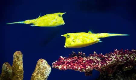 boxfish: boxfishes (Ostracion)