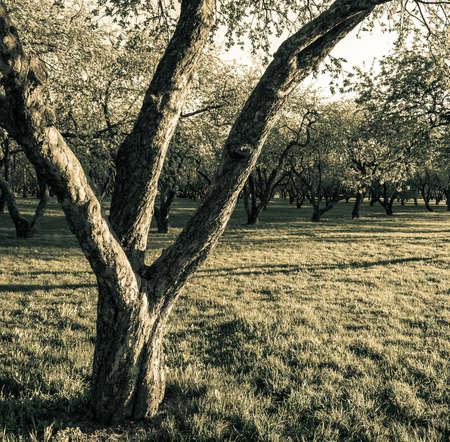 tree plantation: apple trees Stock Photo