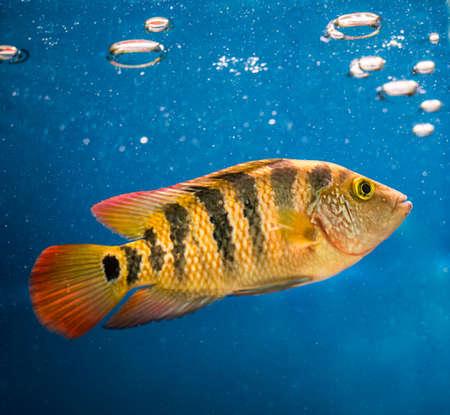 cichlid: cichlid underwater Stock Photo