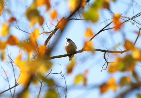birds in tree: Waxwing (Bombycilla) bird on autumnal tree