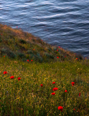 waterscape: coastal poppies