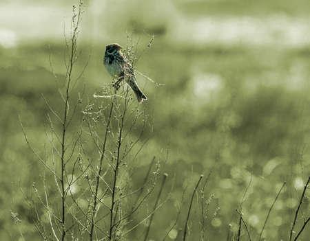 the bunting bird Stock Photo