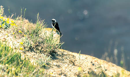 the crags: Chat (pied wheatear) bird