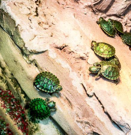 The pond slider (Trachemys scripta), terrarium turtles