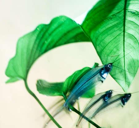 Kryptopterus (glass catfish) Stock Photo