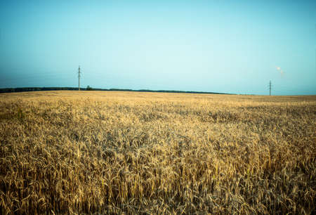 rye field with telegraph poles