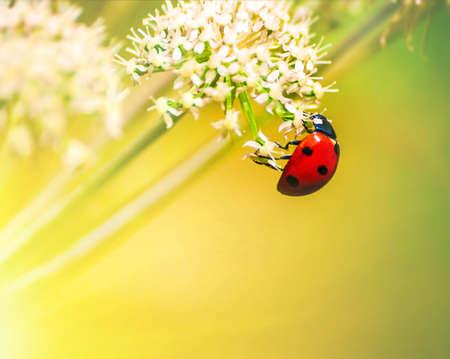 the Ladybug (ladybird)