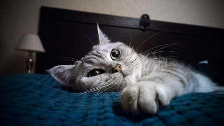british cat on bed