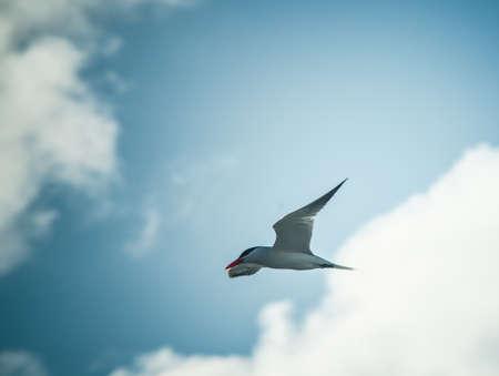 Seagull Sea-tern (Hydroprogne) in sky Stock Photo