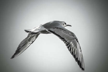 seagull flying in dramatic sky