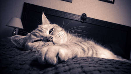 lazy british cat on bed 写真素材