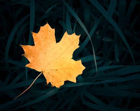 yellow maple leaf on grass