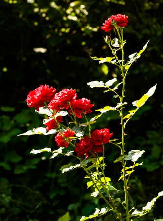 the Small Garden Rose, closeup Stock fotó