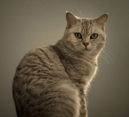 studio portrait of british cat Stock Photo