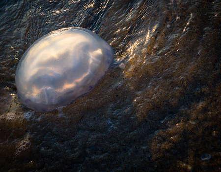 Mediterranean Sea Jellyfish (Rhizostoma Pulmo)