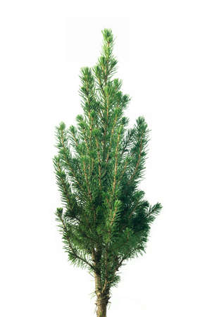 Christmas Fir Tree, isolated on white