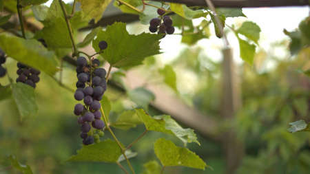 Dark blue ripening grape with green leaves, close up. Grape in the garden close up on blurred background, bunches of grapes on the trees
