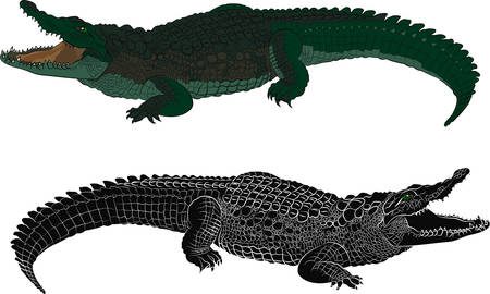 Crocodile color and black silhouette. Vector illustration