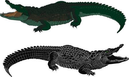 Krokodyla kolor i czarna sylwetka. Ilustracji wektorowych Ilustracje wektorowe
