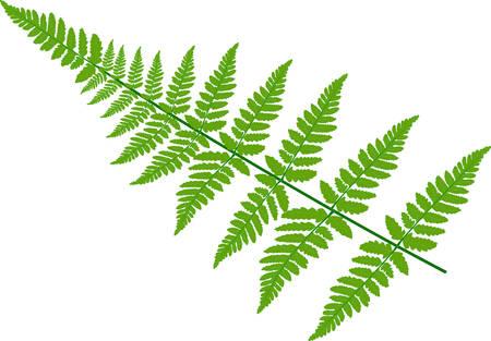 Green fern leaves on white background. Vector illustration Ilustração