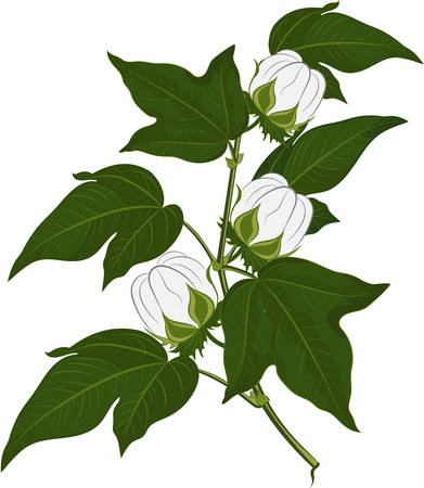 Cotton plant flower isolated on white background. Vector illustration