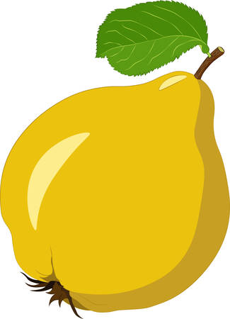 Quince isolated on white background. Vector illustration