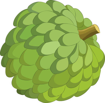 Sweetsop isolated on white background. Vector illustration