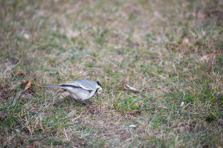 white winter: white wagtail. Birds in winter