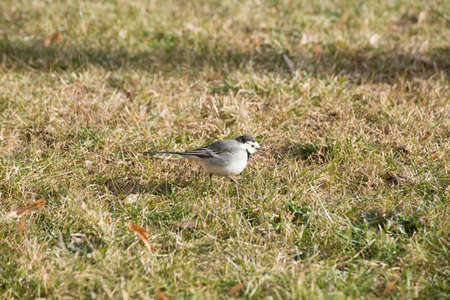 white winter: white wagtail. Birds in winter.