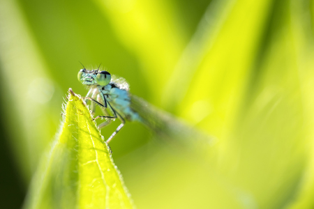 Newly hatched azure damselfly hides in its natural environment 写真素材