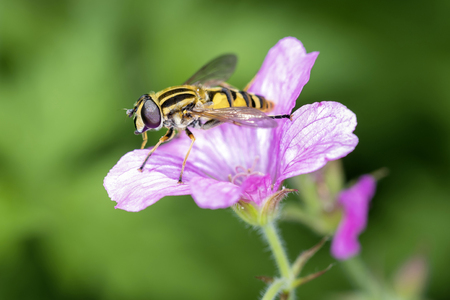 Large marsh hoverfly - Helophilus trivittatus resting on a blossom Фото со стока