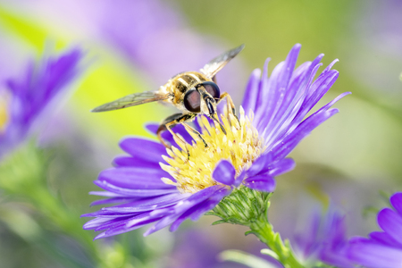 A large tiger hoverfly - Helophilus trivittatus resting on an aster 版權商用圖片