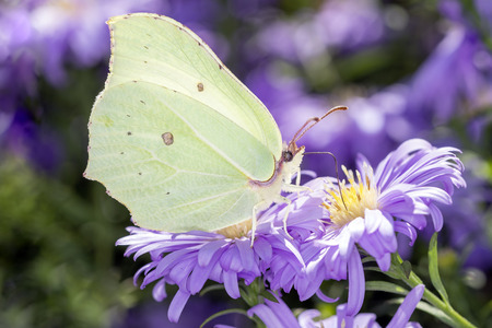 common brimstone butterfly - Gonepteryx rhamni sucks with its trunk nectar from a aster