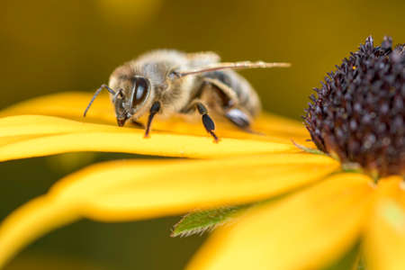 Bee - Apis mellifera - pollinates a blossom of the orange coneflower - Rudbeckia fulgida