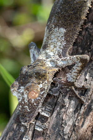 The giant leaf-tailed gecko; Uroplatus fimbriatus, is a nocturnal reptile up to 30 centimeters long that lives endemic to Madagascar. The animals are highly endangered in the wild.
