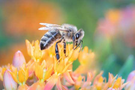 Bee - Apis mellifera - pollinates butterfly milkweed - Asclepias tuberosa