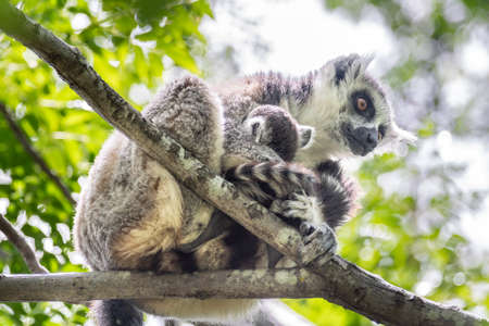 The ring-tailed lemur (Lemur catta) is a large strepsirrhine primate and the most recognized lemur due to its long, black and white ringed tail