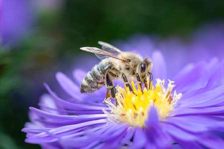 Western honeybee - Apis mellifera - pollinates on Aster Stockfoto