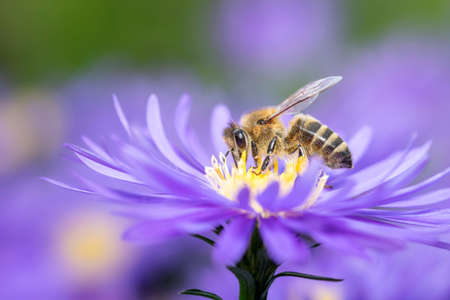 Western honeybee - Apis mellifera - pollinates on Aster
