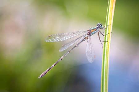 Spread-winged damselfly - Lestidae - in her natural habitat