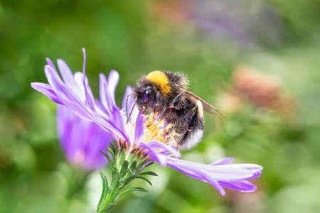 Large earth bumblebee - Bombus terrestris - pollinates an aster