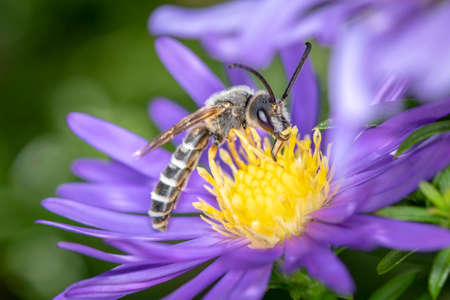 Great-banded furrow bee - Halictus scabiosae - pollinates an aster