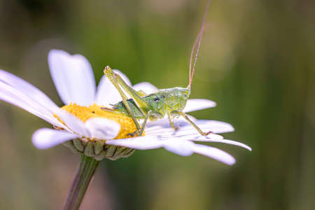 Great green bush cricket - Tettigonia viridissima - resting on Leucanthemum blossom - marguerite