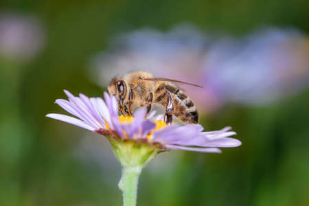 Bee - Apis mellifera - pollinates a blossom of the rice button aster or bushy aster - Aster dumosus
