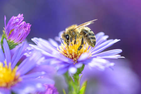 Bee - Apis mellifera - pollinates a blossom of the New York aster - Symphyotrichum novi-belgii
