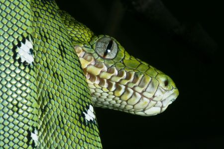 a close-up portrait of an emerald boa in the Bolivian rainforest photo