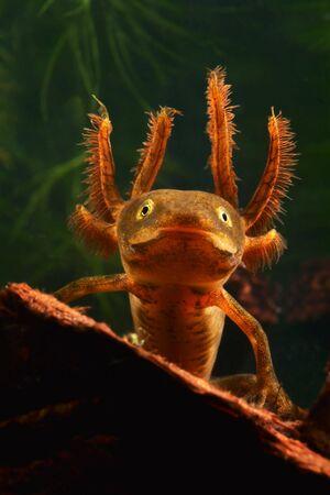 crested: portrait of a larva of the crested newt triturus cristatus